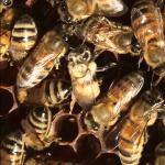 Gold Standard Honey Bees
